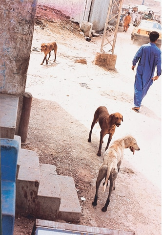Whethers its a sunny day or a rainy one, stray dogs frequent garbage dumps in search of food. Town administrations leave poison pellets in these spots to cull stray dogs File photos by WhiteStar