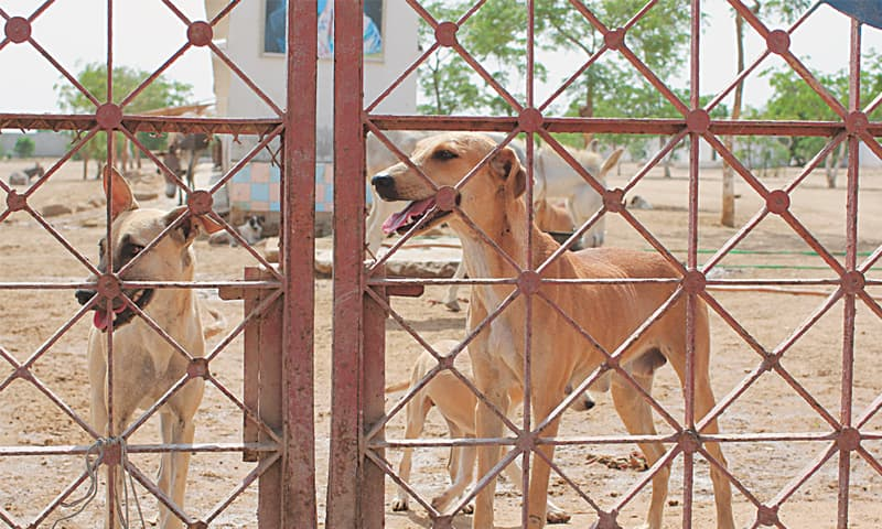 A canine reception committee at the Edhi Animal Shelter. - Photo by Ali Umair Jaffery