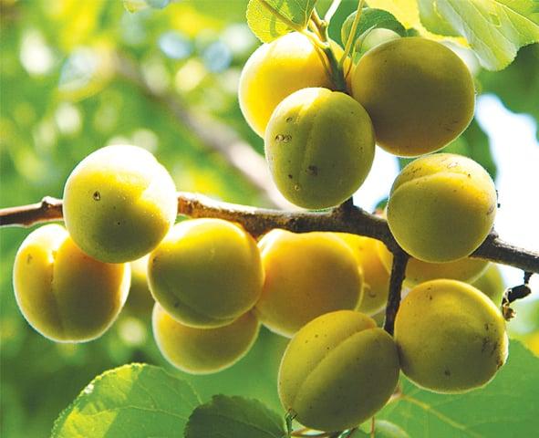 Sun-kissed apricots