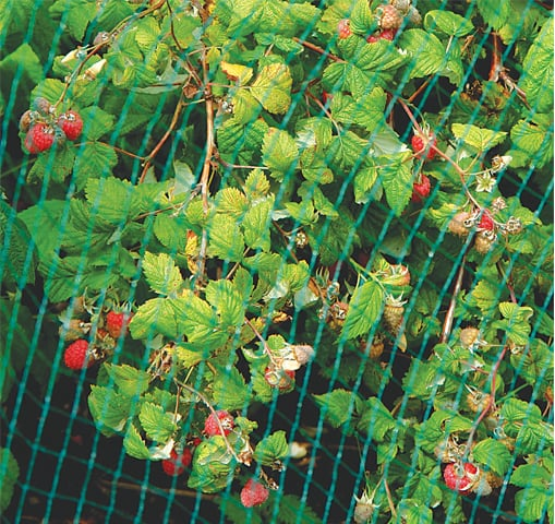 Raspberries need netting from birds