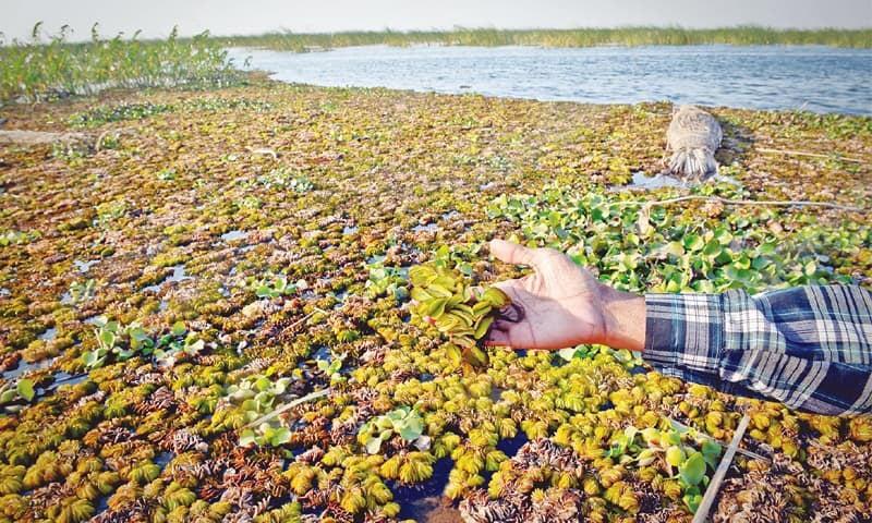 Salvinia molesta, an invasive species, occupies a vast area in the lake.—Fahim Siddiqi / White Star