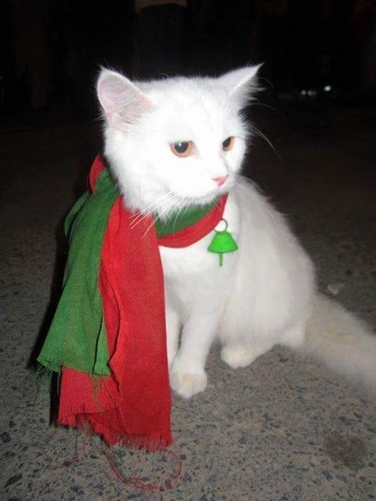 The cat ─ allegedly worth Rs0.2m ─ briefly shot to fame when its owner took her to the PTI sit-in at D-Chowk in 2014. ─ Photo: Imtiaz Asif