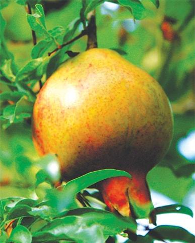Healthy pomegranate