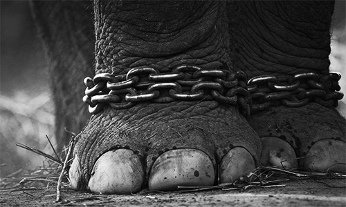 CDA chains Kaavan the elephant again
