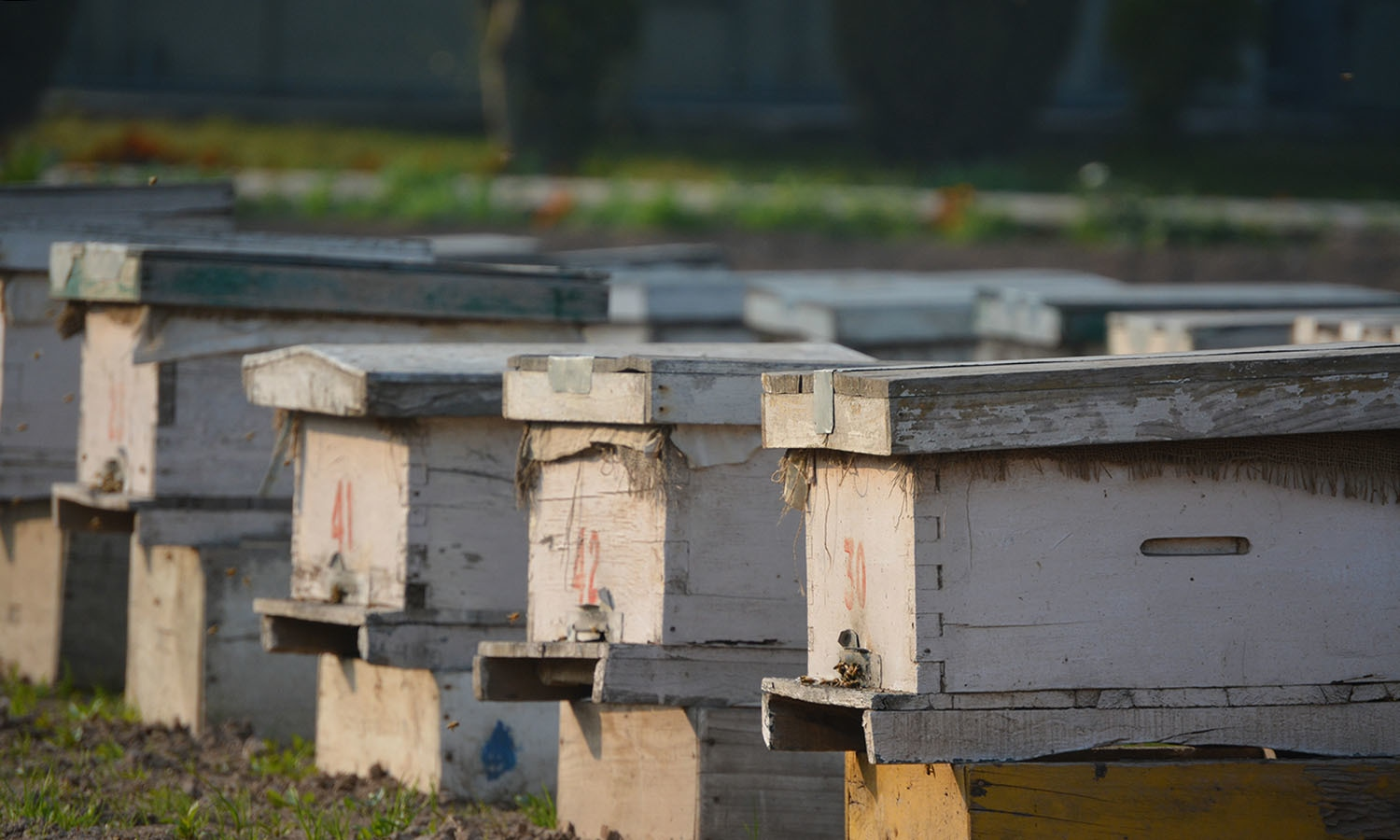 Average Pakistani beehive produces 10-15 kg of honey per season while an average Australian beehive produces 25-30 kg. — Photo by author