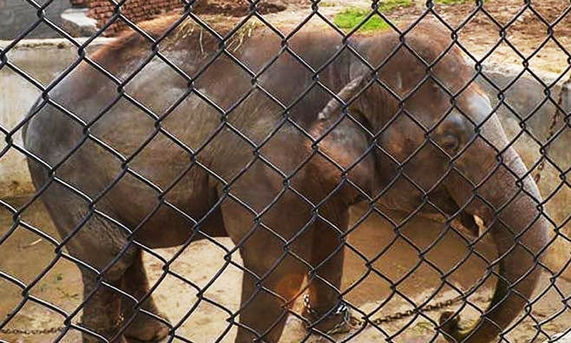 Unloved and in chains — Kaavan