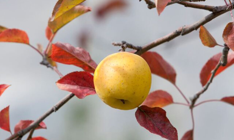 An apple in Hunza, grown organically. —Photo by Ghulam Rasool
