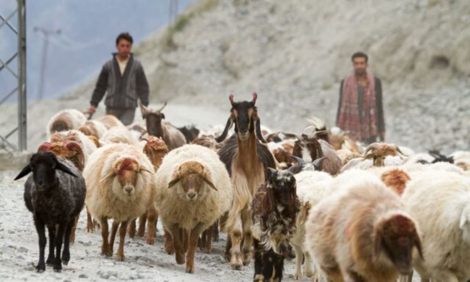 A local shepherd tending to his sheep near Khaplu. —Photo by Ghulam Rasool