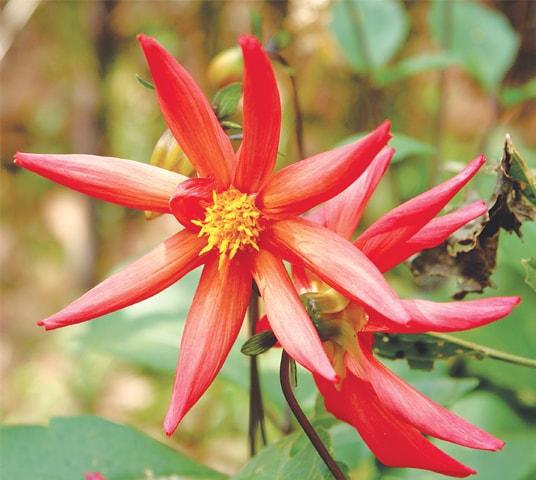 Self-seed dahlia