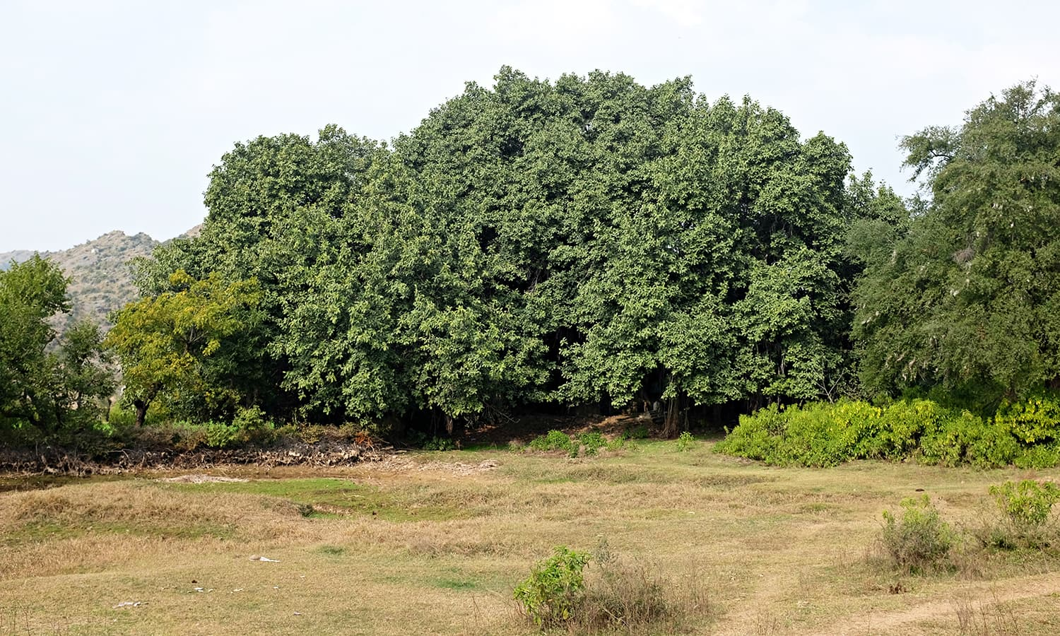 I spot a banyan tree in the distance.