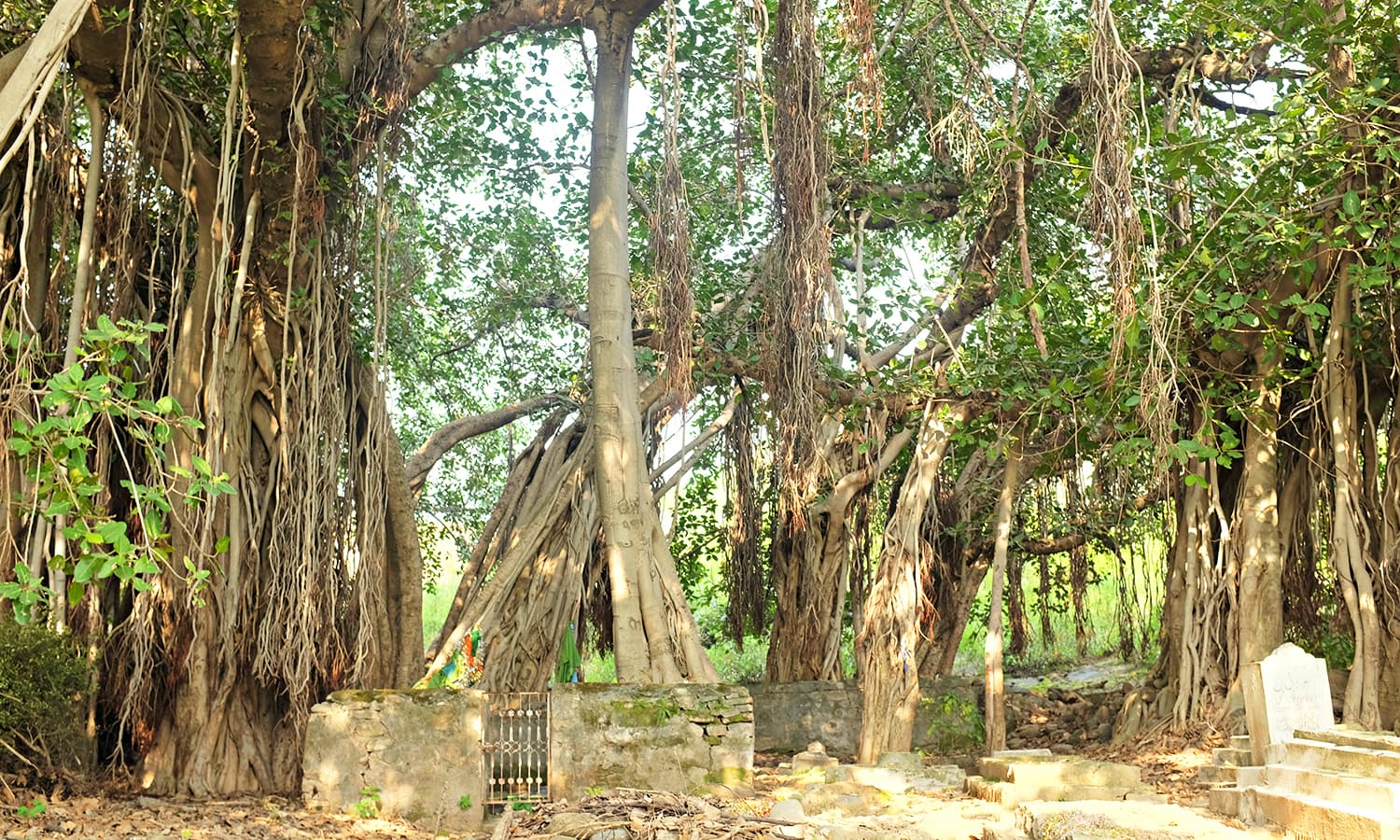 The Bohri gate takes its name from the beautiful banyan tree