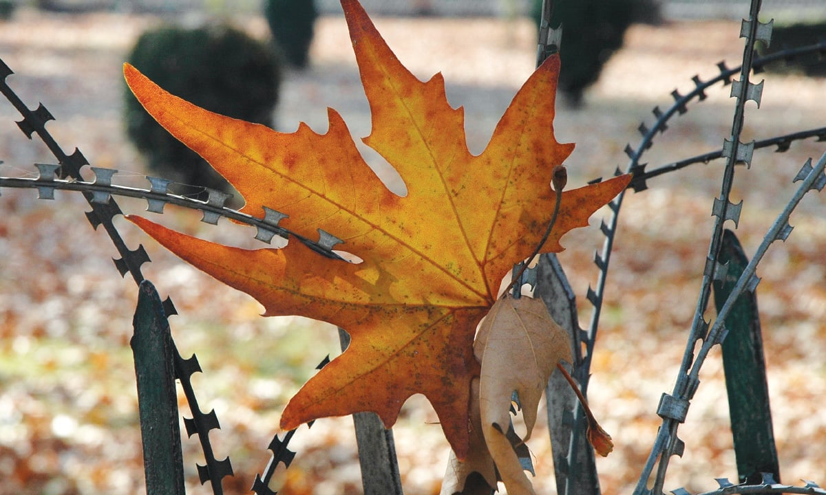 A chinar leaf entangled in a concertina wire around a police camp in Srinagar | Dilnaz Boga