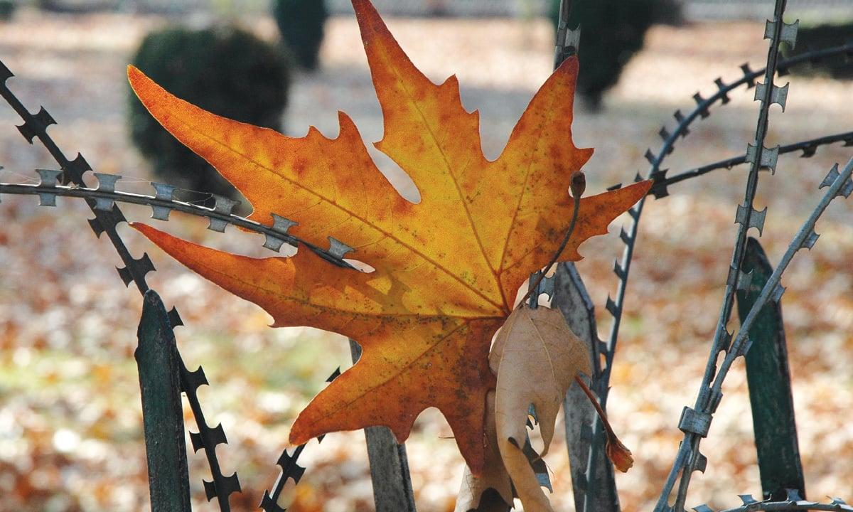 A chinar leaf entangled in a concertina wire around a police camp in Srinagar   Dilnaz Boga