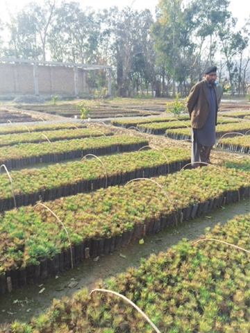 Chir pine saplings being grown -Photo by the writer