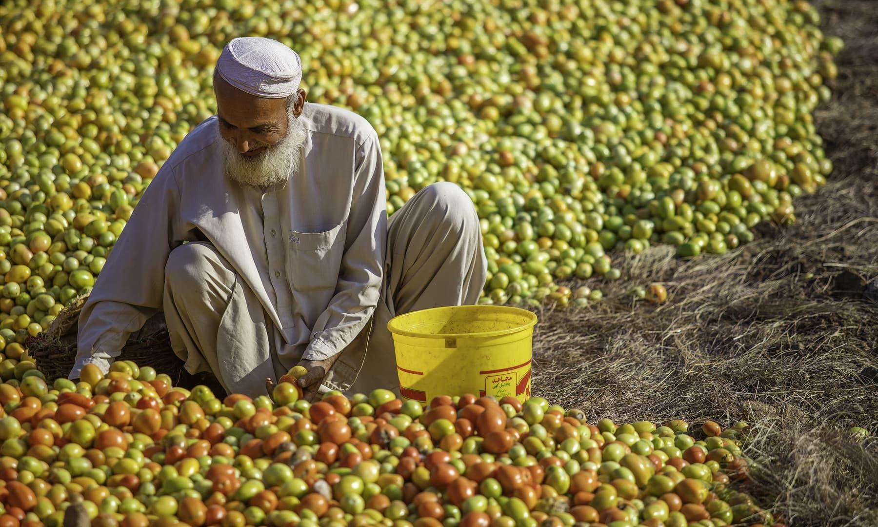 خستہ باز خان اپنے کھیت میں کام کر رہا ہے. — فوٹو سید مہدی بخاری۔