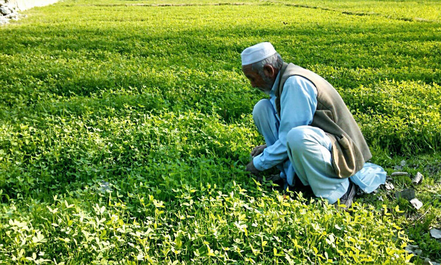 A farmer works in the field in Fata. Without fertilisers, his crop produce suffers by 50 per cent. —Photo Tariq Ullah