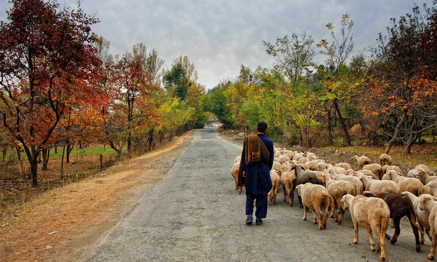 A shepherd boy heading home with his sheep.