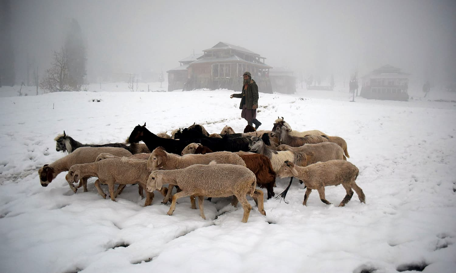 A Pakistani Kashmir man walking with his livestock in the snow-covered Neelum Valley. ─  AFP