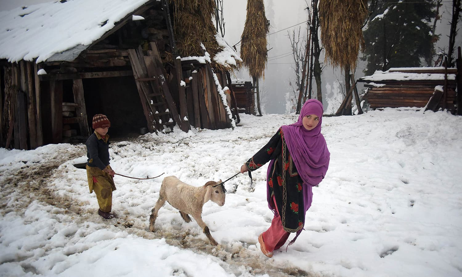 Pakistani Kashmir girl pulling a sheep in the snow-covered Neelum Valley. ─ AFP