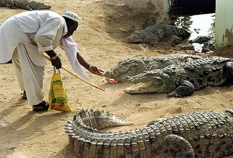 2015 میں ایک عقیدت مند مگرمچھوں کو کھانا کھلا رہا ہے۔