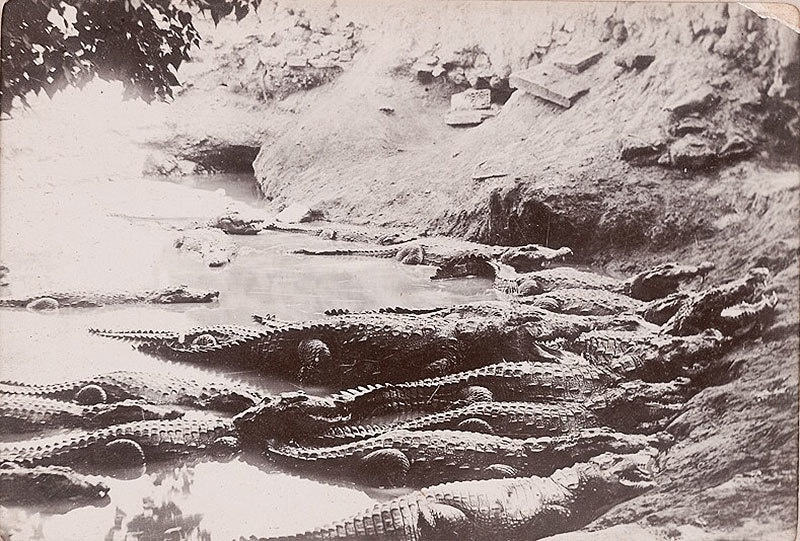 The crocodiles at the shrine in 1910.