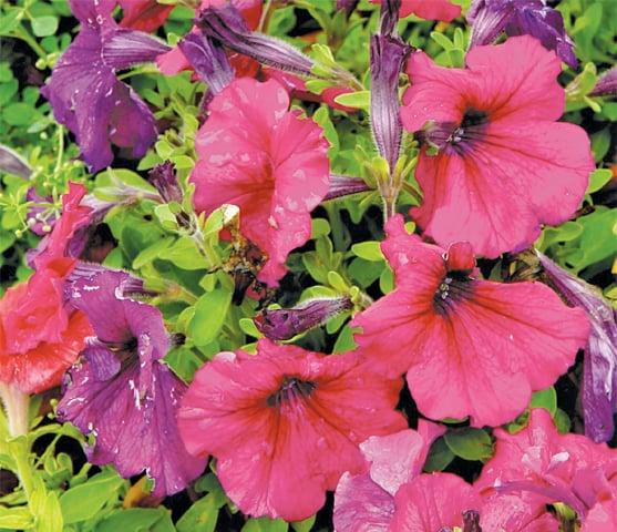 Bright petunias