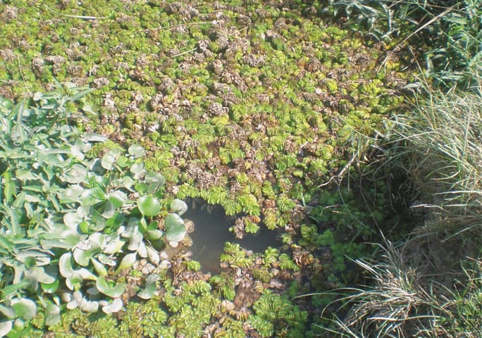A new highly invasive aquatic weed has appeared in the vicinity of Gharo, Thatta.