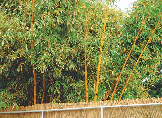 Natural hedge of golden bamboo.