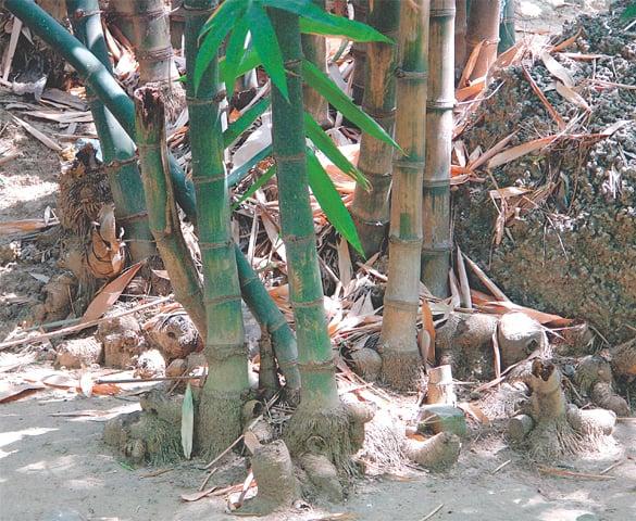 Bamboo 'culms'.