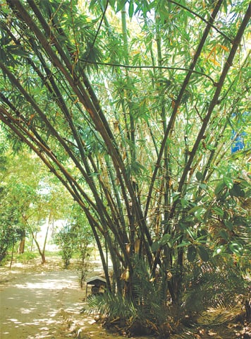 Magnificent clumping bamboo