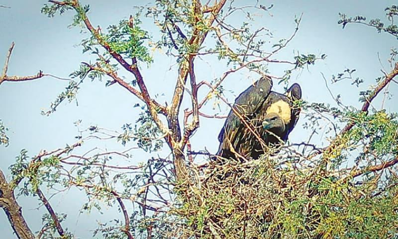 کنڈی (دیسی ببول) کے درخت گِدھوں کے گھونسلہ بنانے کے لیے پسندیدہ سمجھے جاتے ہیں—فوٹو: فہیم صدیقی / وائٹ اسٹار