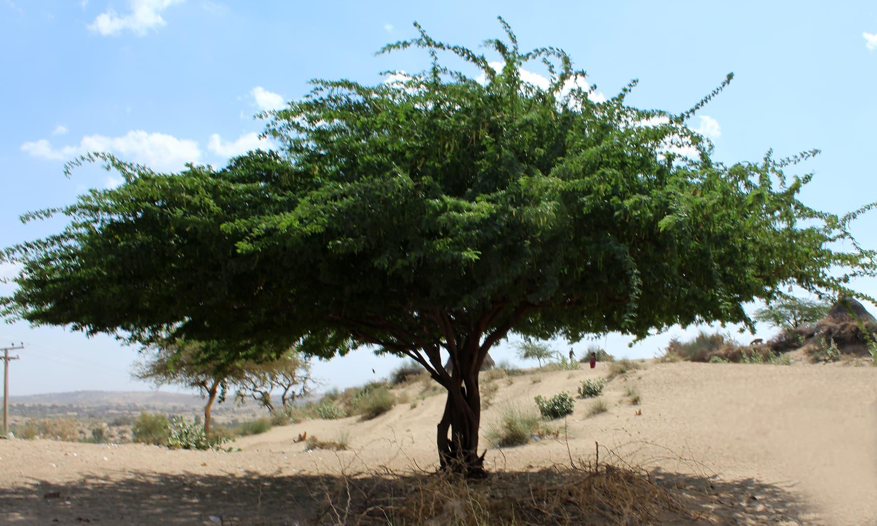 تھر کے صحرا میں موجود ایک سایہ دار درخت— فوٹو اختر حفیظ۔
