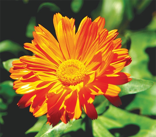 Flower of the month — Calendula