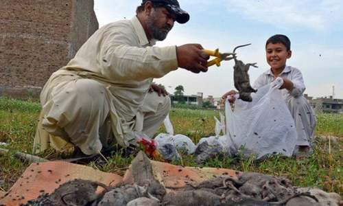 Over 1,100 rats killed so far in Peshawar 'operation'