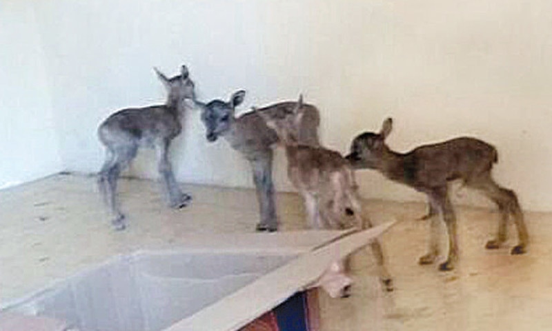 Six Urial fawns were recovered from two policemen. —Dawn