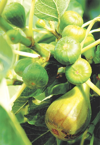 Mouthwatering figs