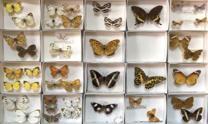 A view of the butterfly specimens on display in the Researchers' Laboratory.