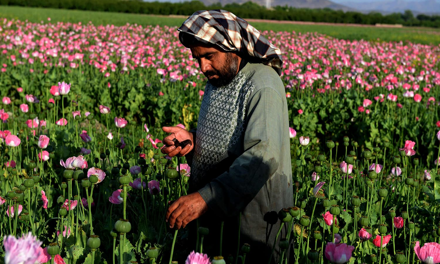 An Afghan farmer harvests opium sap from a poppy field in Zari District of Kandahar province.  ─ AFP