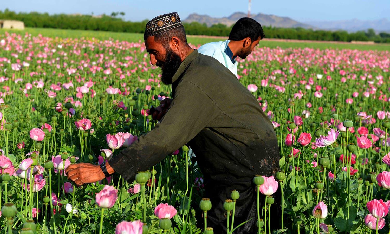 Afghan farmers harvest opium sap from a poppy field in Zari. ─ AFP