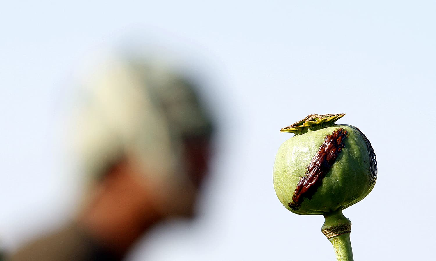 A harvested poppy is seen at a poppy field in Zari district. ─ AP