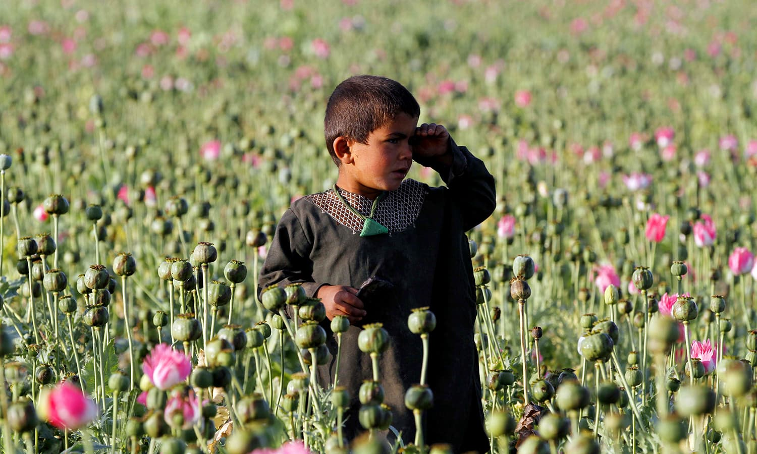 An Afghan child harvests raw opium at a poppy field in Zari. ─ AP