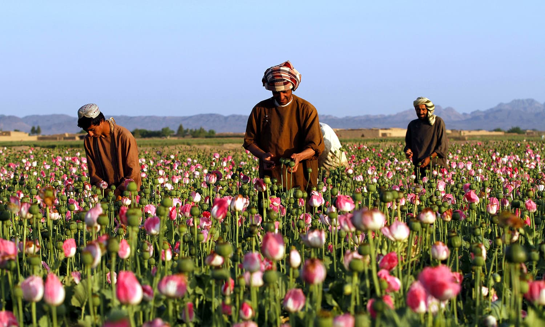 Afghan farmers harvest raw opium at a poppy field in Zari. ─ AP