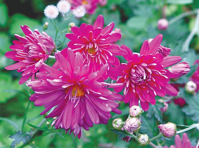 Pink, spray chrysanthemums