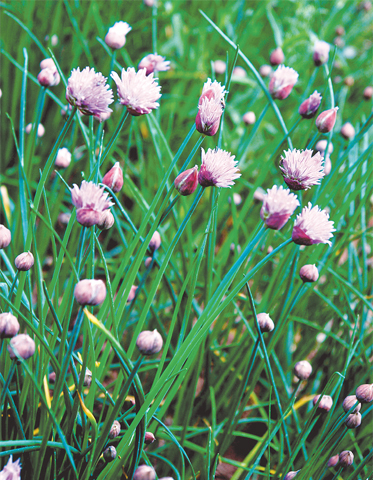 Chives deter aphids & carrot fly