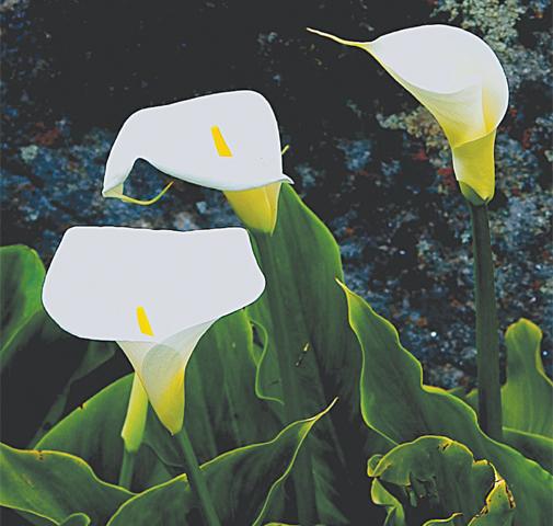 Calla' lilies