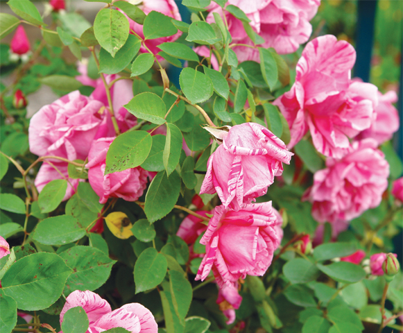 Glorious roses