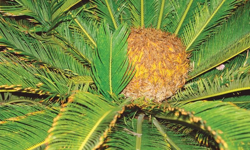 Kungni palm