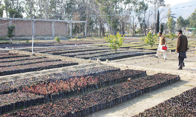Chir pine and Kachnar saplings are ready for plantation in the Haripur nursery. -Image by Asim Ali