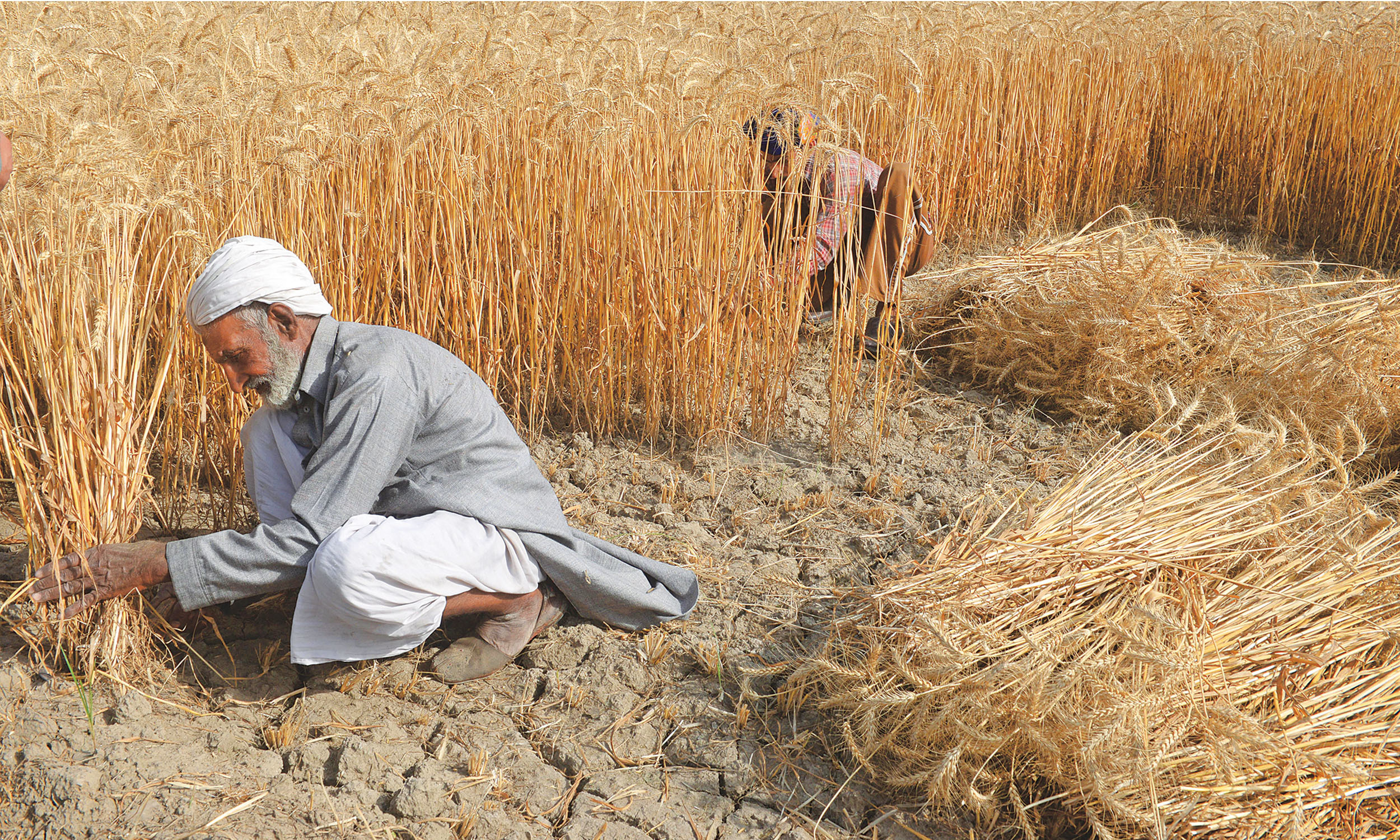 Farmers in a wheat field | Tariq Mahmood, White Star
