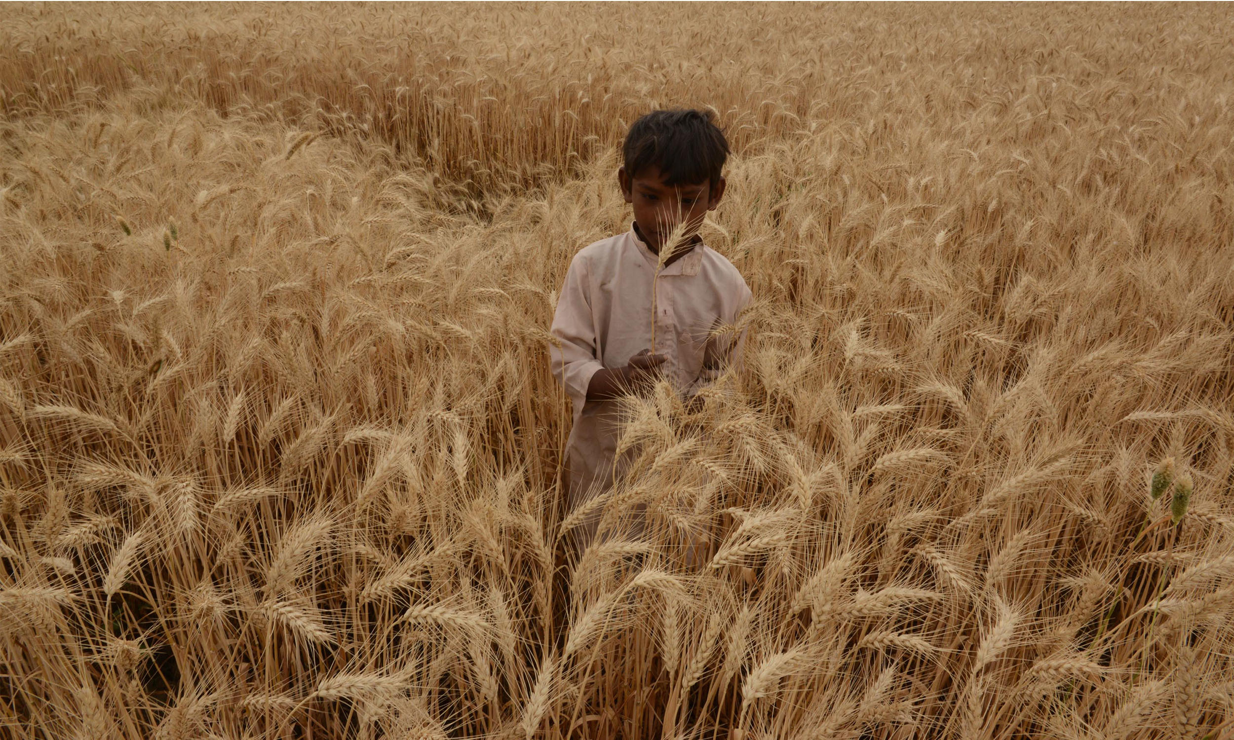 A boy in a wheat field | Azhar Jafri, White Star
